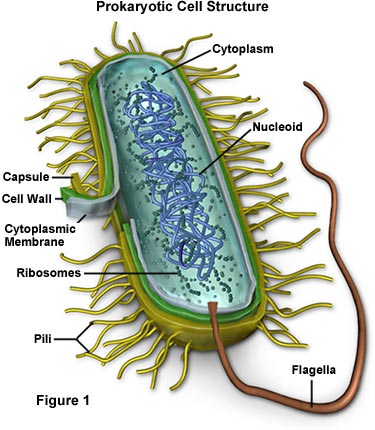 Lactobacillus bulgaricus classification this actually doesnt match what a l bulgaricus bacterium would look like ccuart Choice Image